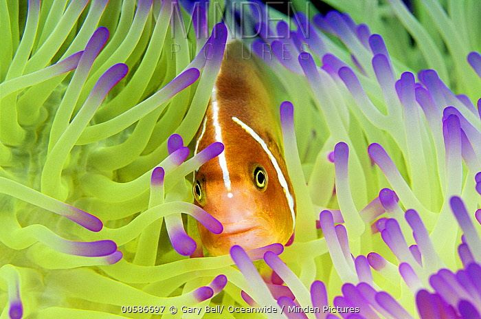 Pink Anemonefish (Amphiprion perideraion) in sea anemone, Great Barrier Reef, Australia