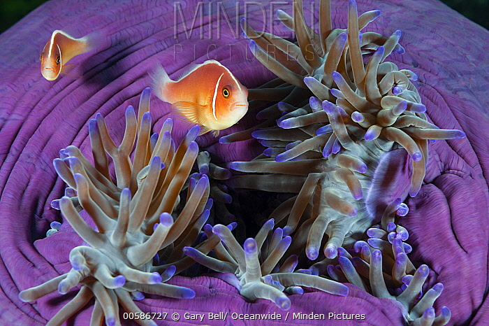 Pink Anemonefish (Amphiprion perideraion) pair in sea anemone, Great Barrier Reef, Australia