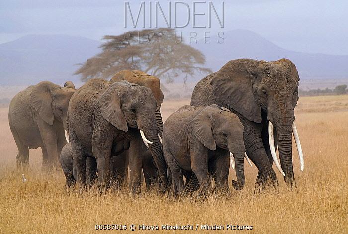African Elephant (Loxodonta africana) herd, Amboseli National Park, Kenya