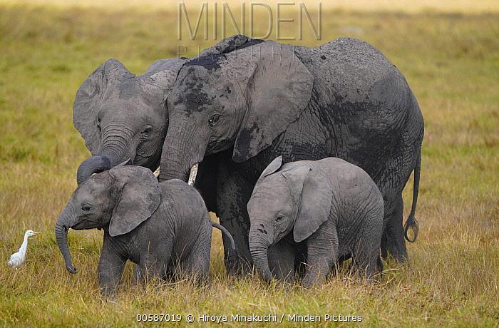 African Elephant (Loxodonta africana) mothers and calves, Amboseli National Park, Kenya
