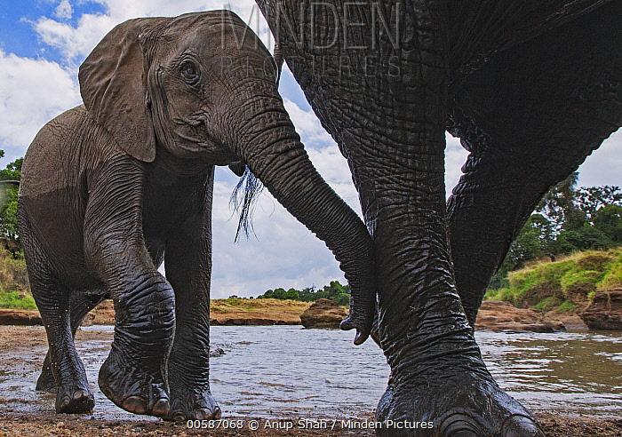 African Elephant (Loxodonta africana) mother and calf, Masai Mara, Kenya