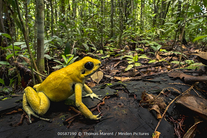 Golden Poison Dart Frog (Phyllobates terribilis) in rainforest, Timbiqui, Colombia