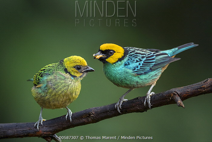 Saffron-crowned Tanager (Tangara xanthocephala) parent bringing food to fledgling, Valle del Cauca, Colombia