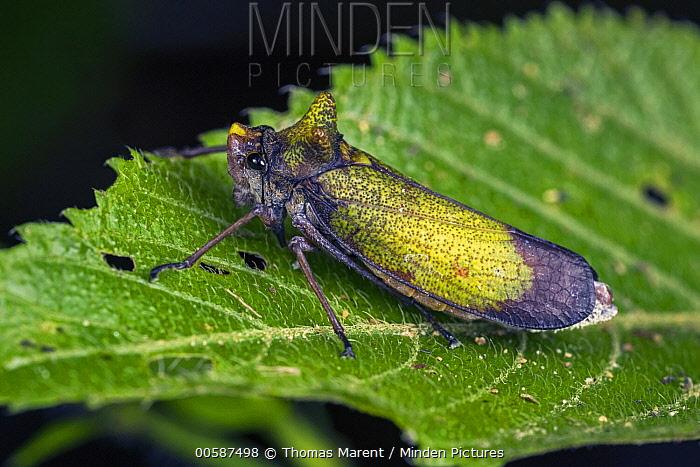Cicada (Zyzzogeton sp), Tatama National Park, Colombia