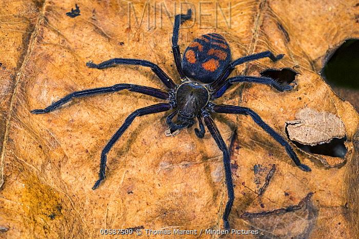 Huntsman Spider (Olios sp) female, Tatama National Park, Colombia