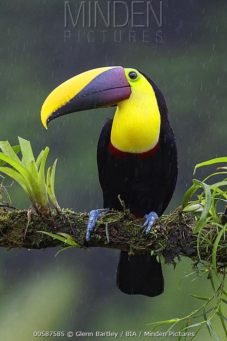Black-mandibled Toucan (Ramphastos ambiguus) during rainfall, Costa Rica