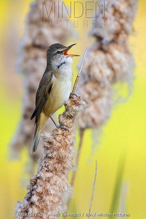 Great Reed-Warbler (Acrocephalus arundinaceus) calling, Poland