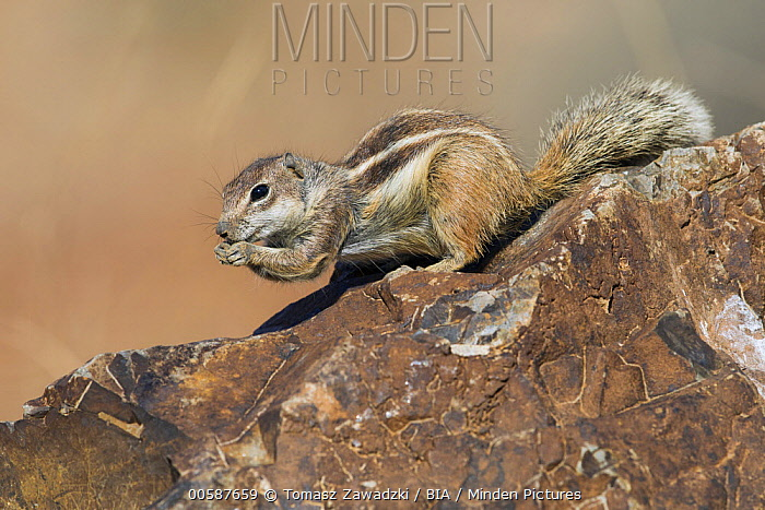 Barbary Ground Squirrel (Atlantoxerus getulus) feeding, Fuerteventura, Spain