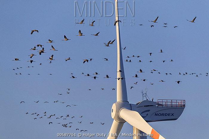 Common Crane (Grus grus) flock flying dangerously close to windmill, Mecklenburg-Vorpommern, Germany