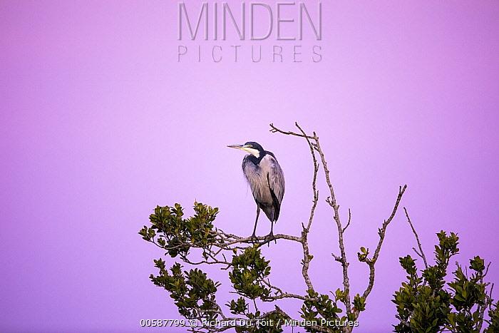 Black-headed Heron (Ardea melanocephala), Herolds Bay, South Africa