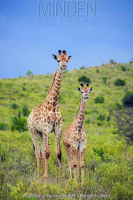 Northern Giraffe (Giraffa camelopardalis) mother and calf, Itala Game Reserve, KwaZulu-Natal, South Africa
