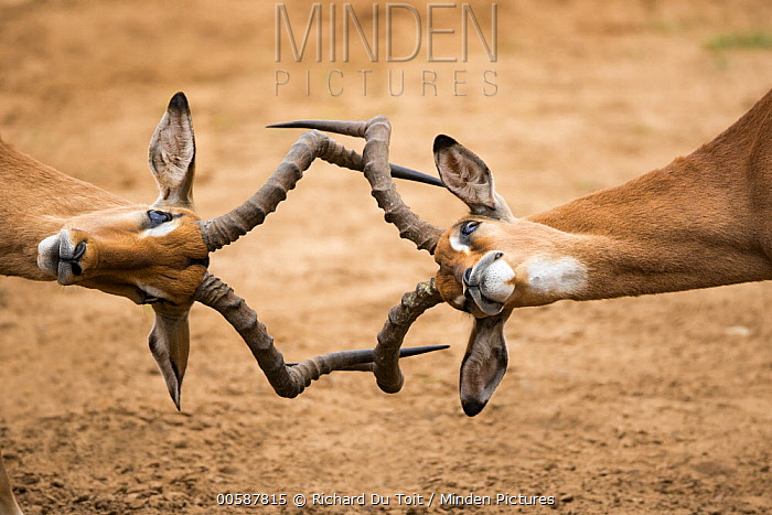 Impala (Aepyceros melampus) males fighting, Mkhuze Game Reserve, KwaZulu-Natal, South Africa