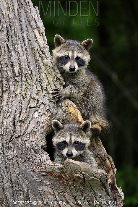Raccoon (Procyon lotor) young in tree, Minnesota Wildlife Connection, Minnesota