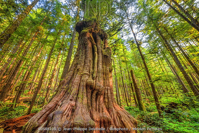 Western Red Cedar (Thuja plicata) tree, Avatar Grove, Vancouver Island, British Columbia, Canada
