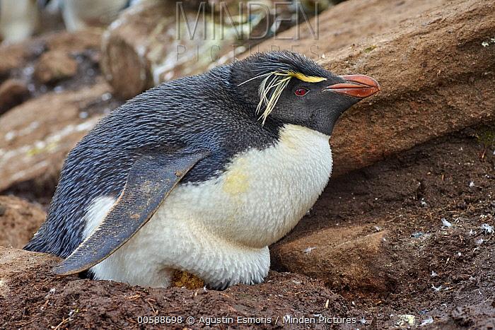 Southern Rockhopper Penguin (Eudyptes chrysocome) on nest, Falkland Islands