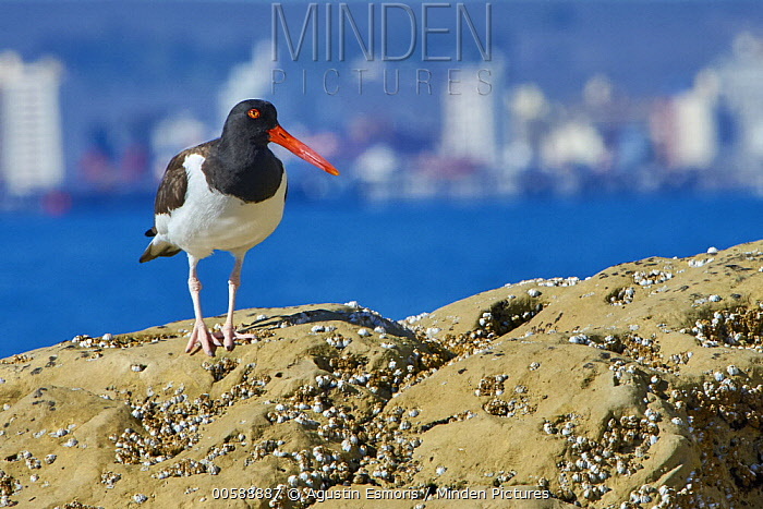 American Oystercatcher (Haematopus palliatus) with city in background, Puerto Madryn, Chubut, Argentina