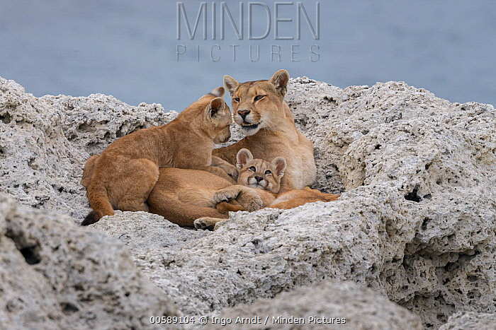 Mountain Lion (Puma concolor) mother and young cubs, Torres del Paine National Park, Patagonia, Chile