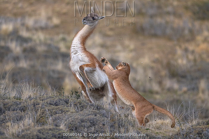 Mountain Lion (Puma concolor) hunting Guanaco (Lama guanicoe) male, Torres del Paine National Park, Patagonia, Chile, sequence 4 of 12