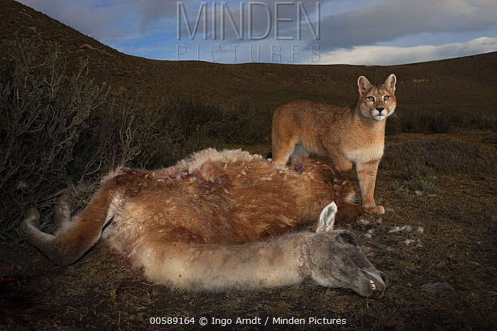 Mountain Lion (Puma concolor) sub-adult feeding on Guanaco (Lama guanicoe) prey, Torres del Paine National Park, Patagonia, Chile