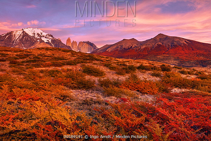 Beech (Fagus sp) trees and mountains in autumn, Torres del Paine, Torres del Paine National Park, Patagonia, Chile
