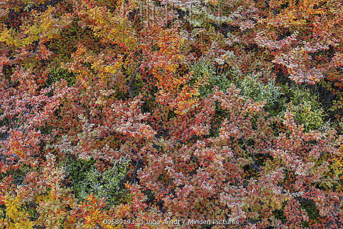 Beech (Fagus sp) leaves in autumn with morning frost, Torres del Paine National Park, Patagonia, Chile