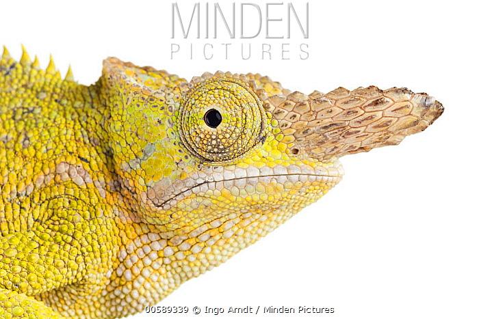 Giant Fischer Chameleon (Bradypodion fischeri), native to eastern Africa
