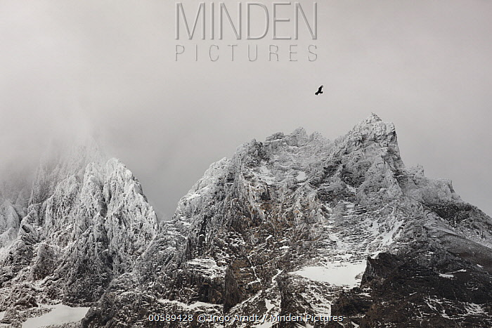 Andean Condor (Vultur gryphus) flying near mountains, Cordillera Paine, Torres del Paine National Park, Patagonia, Chile