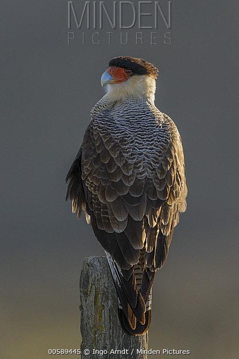Southern Caracara (Caracara plancus), Torres del Paine National Park, Patagonia, Chile