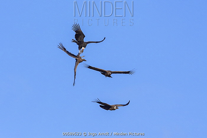 Andean Condor (Vultur gryphus) pair fighting while flying, Torres del Paine National Park, Patagonia, Chile