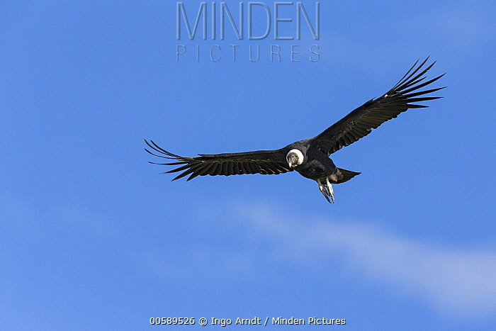Andean Condor (Vultur gryphus) flying, Torres del Paine National Park, Patagonia, Chile
