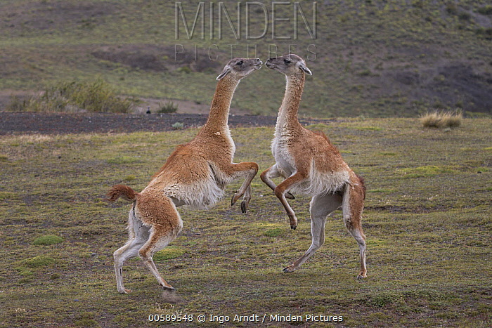 Guanaco (Lama guanicoe) males fighting, Torres del Paine National Park, Patagonia, Chile