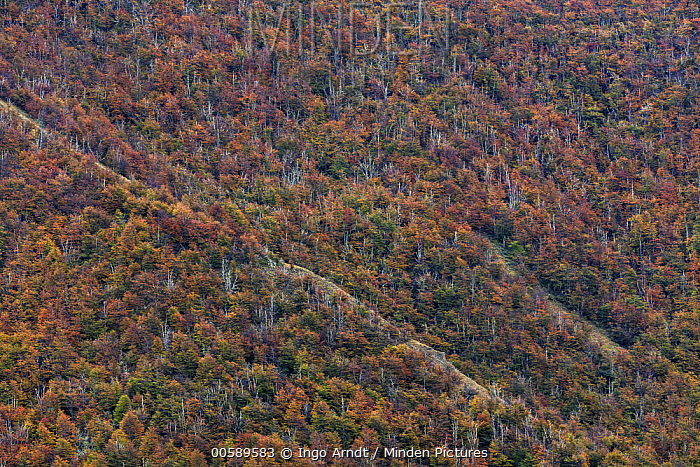 Beech (Fagus sp) trees in autumn, Torres del Paine National Park, Patagonia, Chile