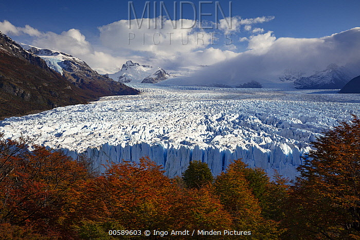 Beech (Fagus sp) trees in autumn and Perito Moreno Glacier, Los Glaciares National Park, Patagonia, Argentina