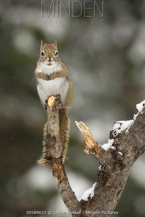 Red Squirrel (Tamiasciurus hudsonicus) in winter, Algonquin Provincial Park, Ontario, Canada