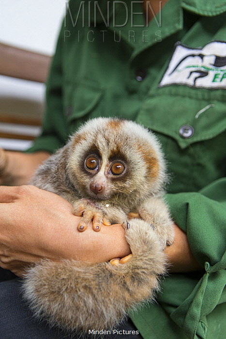 Northern Slow Loris (Nycticebus bengalensis) young from female that was rescued from illegal wildlife trade while pregnant, Endangered Primate Rescue Center, Cuc Phuong National Park, Vietnam
