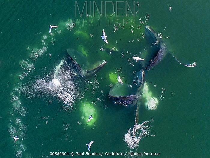 Humpback Whale (Megaptera novaeangliae) pod cooperative bubble-net feeding, Frederick Sound, Alaska