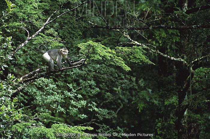 Yunnan Snub-nosed Monkey (Rhinopithecus bieti) in tree, Hengduan Shan Mountains, China  -  Patricio Robles Gil/ Sierra Madr