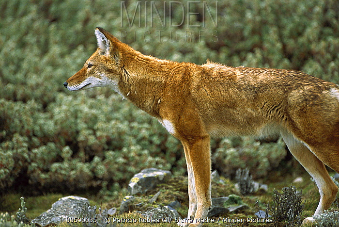 Ethiopian Wolf (Canis simensis) alert adult in Bale Mountains National Park, Ethiopian highlands  -  Patricio Robles Gil/ Sierra Madr