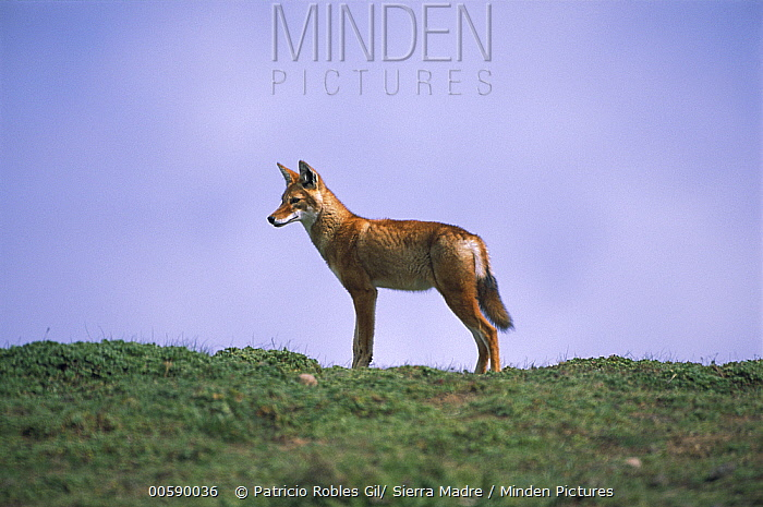 Ethiopian Wolf (Canis simensis), Bale Mountains National Park, Ethiopian highlands  -  Patricio Robles Gil/ Sierra Madr