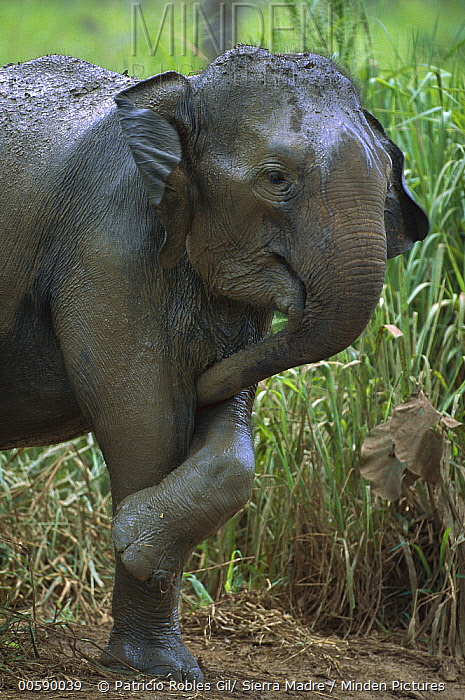 Asian Elephant (Elephas maximus) with its trunk between its front legs, Sri Lanka  -  Patricio Robles Gil/ Sierra Madr