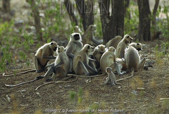 Hanuman Langur (Semnopithecus entellus) family group communal grooming, Ranthambore National Park, India  -  Patricio Robles Gil/ Sierra Madr