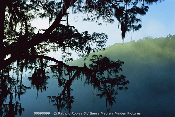 Pine (Pinus sp) tree in cloud forest silhouetted with moss, El Cielo Biosphere Reserve in the mountains of the Sierra Madre Oriental, Tamaulipas, northeast Mexico  -  Patricio Robles Gil/ Sierra Madr