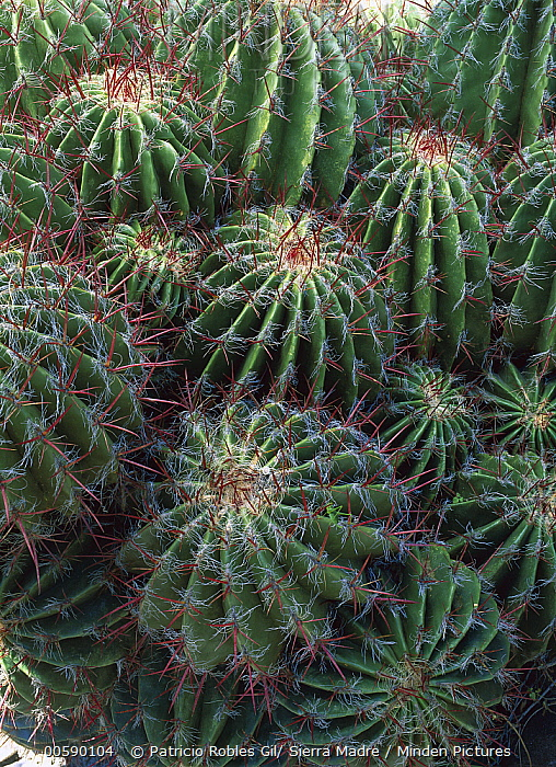 Cactus in the Miquihuana Desert, part of the Great Chihuahuan Desert, Tamaulipas, northeast Mexico  -  Patricio Robles Gil/ Sierra Madr