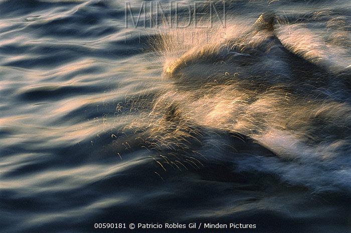 Short-beaked Common Dolphin (Delphinus delphis delphis) surfacing, Gulf of California, Mexico  -  Patricio Robles Gil/ Sierra Madr