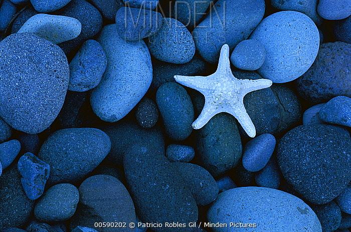 Sea Star on rocky beach, Baja California, Mexico  -  Patricio Robles Gil/ Sierra Madr