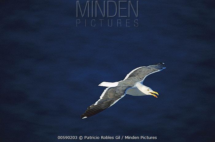Western Gull (Larus occidentalis) adult flying, San Pedro Martir Island, Gulf of California, Mexico  -  Patricio Robles Gil/ Sierra Madr