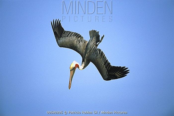 Brown Pelican (Pelecanus occidentalis) adult diving for fish, Gulf of California, Mexico  -  Patricio Robles Gil/ Sierra Madr