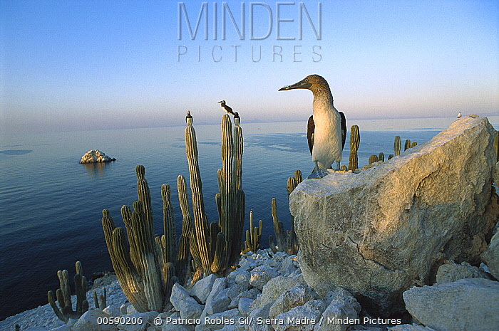 Blue-footed Booby (Sula nebouxii) perched on rocks and cactus on San Pedro Martir Island, Gulf of California, Mexico  -  Patricio Robles Gil/ Sierra Madr