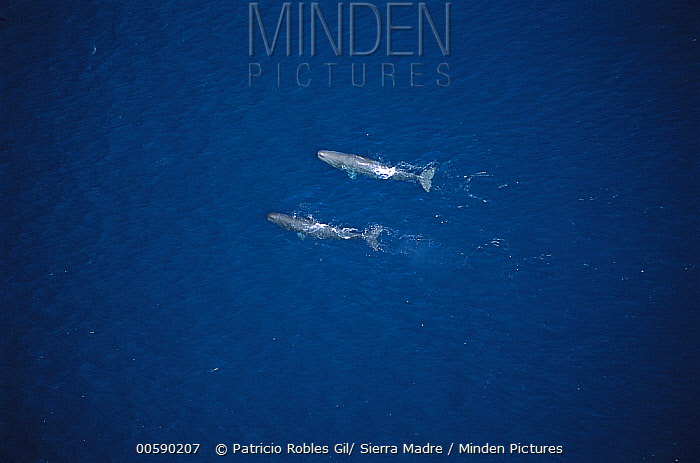 Sperm Whale (Physeter macrocephalus) aerial view of two swimming near the surface in the Gulf of California, Mexico  -  Patricio Robles Gil/ Sierra Madr