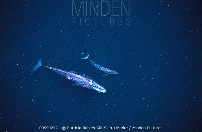 Blue Whale (Balaenoptera musculus) aerial view of mother and calf swimming near the surface in the Gulf of California, Mexico  -  Patricio Robles Gil/ Sierra Madr